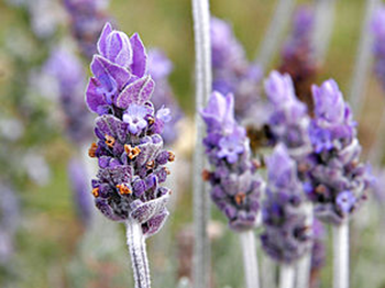 lavender and mint not only add nuance and flavor but also plant ...