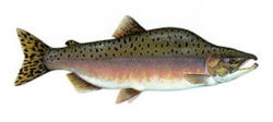 2014-05-04_picture_of_a_salmon