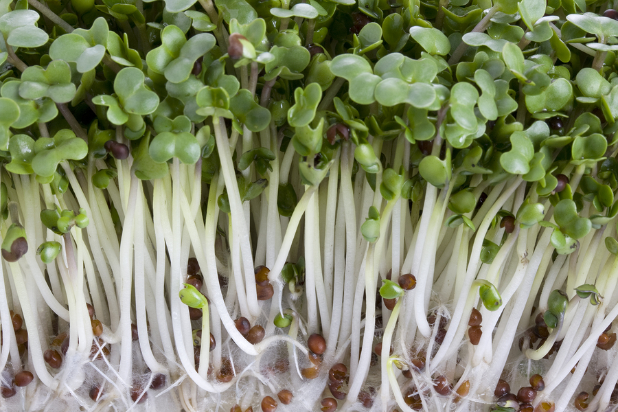 Chemical In Broccoli Sprouts May Treat >> Broccoli Sprouts May Suppress Breast Cancer Integrative